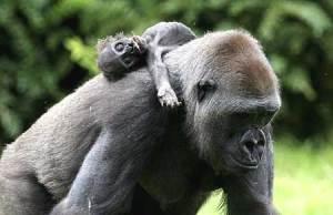 gorilla_gana