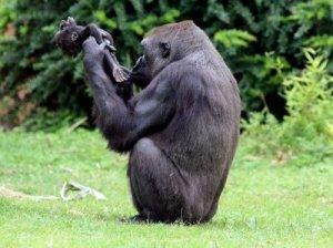 Gorilla_gana_2